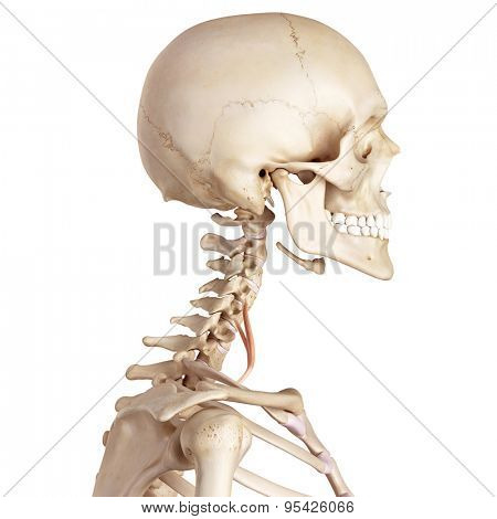 medical accurate illustration of the scalene anterior