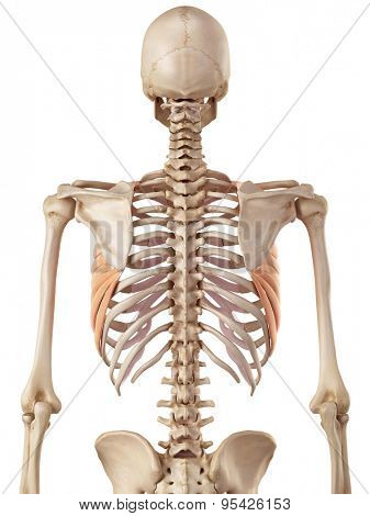 medical accurate illustration of the serratus anterior