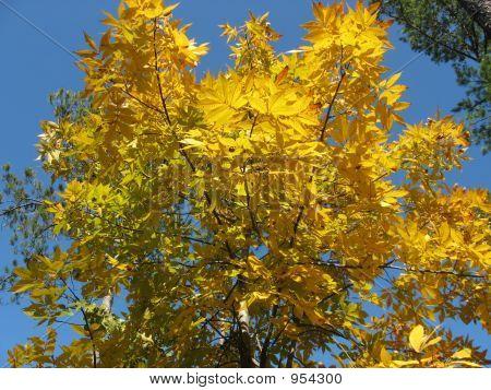 Hickory Tree In Fall