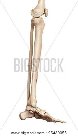 medical accurate illustration of the tibialis anterior