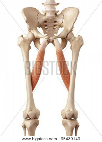 medical accurate illustration of the adductor longus