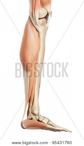 medical accurate illustration of the lower leg muscles