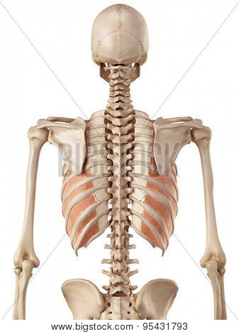 medical accurate illustration of the inner innercostals
