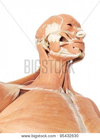 medical accurate illustration of the neck and throat muscles