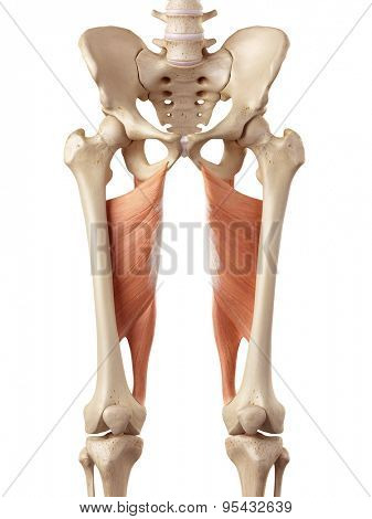 medical accurate illustration of the adductor magnus