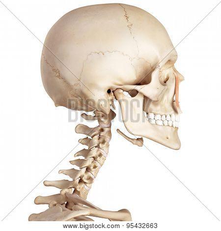 medical accurate illustration of the levator labii superioris alaeque nasi