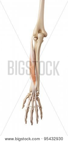 medical accurate illustration of the extensor digitorum