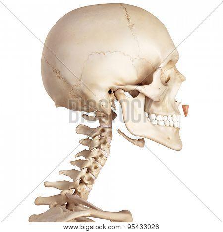 medical accurate illustration of the depressor septi nasi