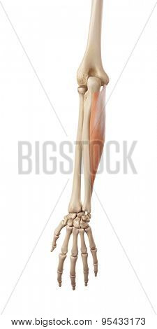 medical accurate illustration of the flexor carpi ulnaris