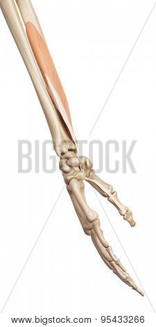 medical accurate illustration of the flexor pollicis longus