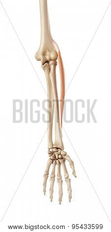 medical accurate illustration of the extensor carpi radialis longus