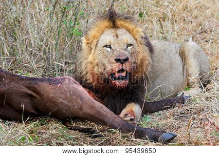 Big male African lion (Panthera leo) guarding his prey, South Africa