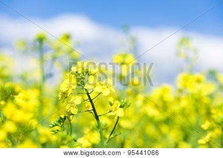 Yellow flower rapeseed field
