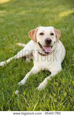 Portret yellow labrador retriever on green grass lawn.