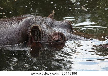 Hippopotamus (Hippopotamus amphibius) swimming. Wild life animal.