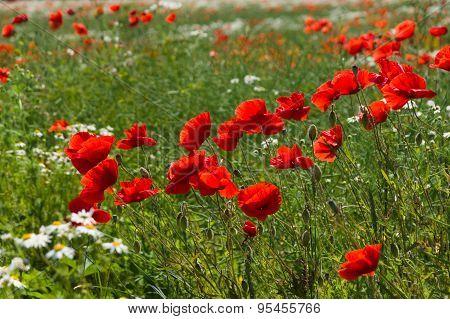 Blooming Poppy (papaver Somniferum) Flowers
