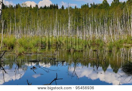 blue sky with clouds above swamp in birch forest