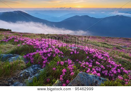 Mountain landscape with flowers. Blooming rhododendron. Carpathians, Ukraine, Europe