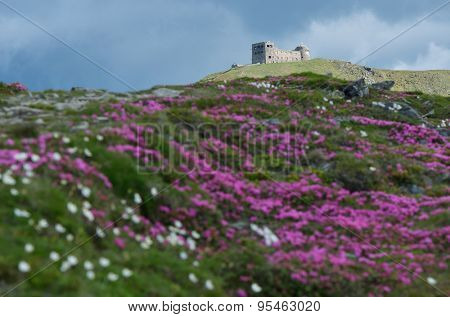 Rhododendron flowers in the mountains. The old observatory on top. Carpathians, Ukraine, Europe