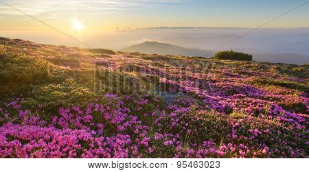 Mountain landscape. Flowers in the light of the sun on the hillside. Blooming pink rhododendron at dawn. Carpathians, Ukraine, Europe