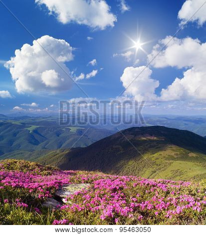 Blossoming rhododendron in mountains. Summer landscape with pink flowers. Sunny day. Carpathian Mountains, Ukraine