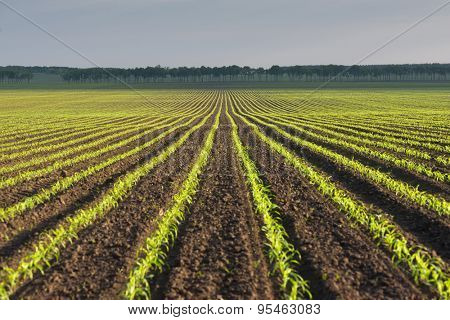 Morning landscape with a field of young corn