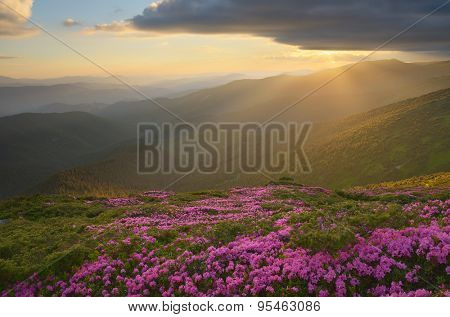 Flowers in the mountains. Pink rhododendron on the slopes. Beautiful sunset. Karpaty, Ukraine, Europe