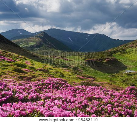 Summer flowers in the mountains. Sunny day. Blooming rhododendron. Carpathians, Ukraine, Europe