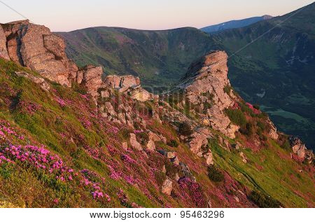 Summer flowers in the mountains with rocks. Sunny morning. Blooming rhododendron. Carpathians, Ukraine, Europe
