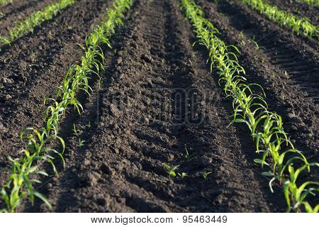 Field of young corn. Rows of plants in the ground