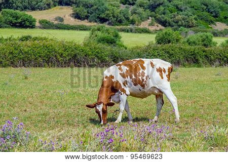White and brown cow grazing on the field.