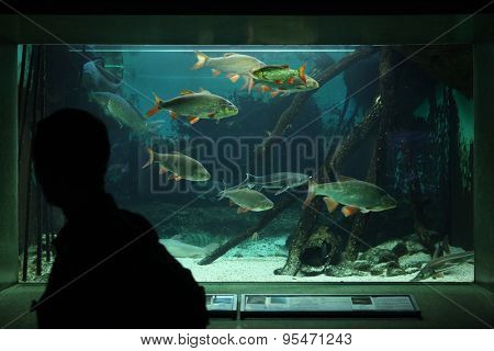 FRANKFURT, GERMANY - JUNE 15, 2015: Visitor looks at an aquarium with common rudds (Scardinius erythropthalmus) at Frankfurt Zoo in Frankfurt am Main, Hesse, Germany.
