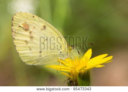 Dainty Sulphur butterfly, the smallest North American pierid resting on a yellow wildflower