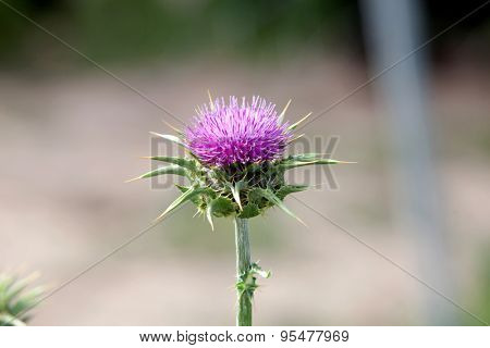 Pink thistle in their habitat with blurred background