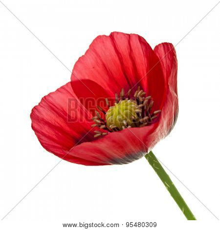 Closeup of red opium poppy flower isolated on white