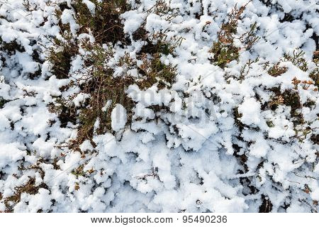 Snow Layer On Heather From Close