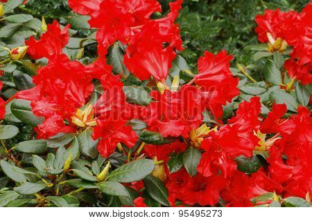 Greeting Card, Blooming Rhododendron