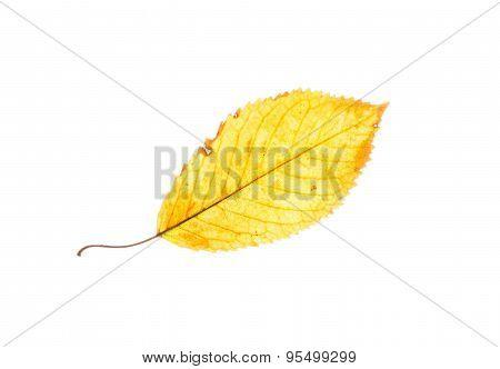 Isolated Yellow Beech Leaf