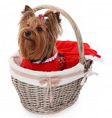 pic of yorkshire terrier  - Cute Yorkshire terrier in wicker basket isolated on white - JPG