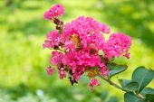 stock photo of crepe myrtle  - Crape Myrtle  - JPG