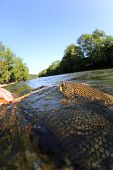 pic of trout fishing  - Brown trout being taken out of water with fishing net - JPG