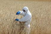 foto of biotechnology  - biotechnology engineer on field examining ripe ears of grain - JPG
