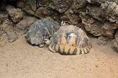 pic of tortoise  - Radiated tortoise  - JPG