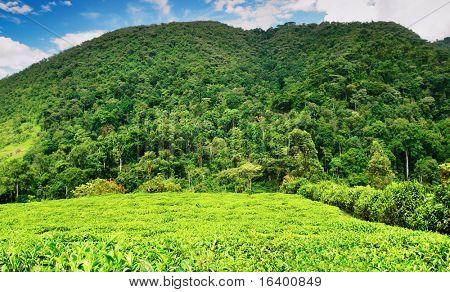 Tea plantation in Bwindi national park, Uganda