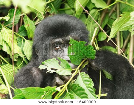 Eastern mountain gorilla. Bwindi Impenetrable Forest, Uganda