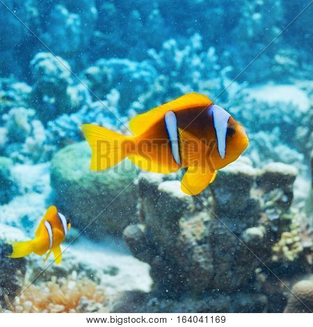 Pair of clown fish swim in the Red Sea coral