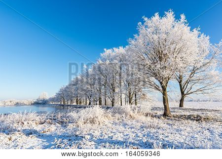 Alley Of Trees Covered By Frost On The Dike