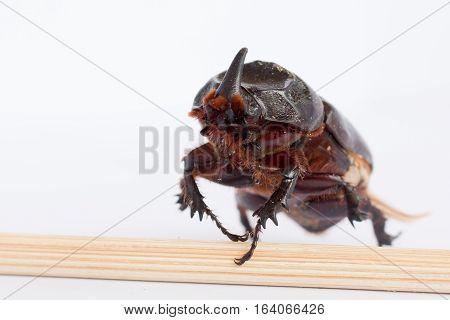 Rhinoceros beetle Rhino Hercules on white background