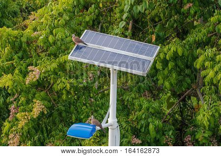 Bird Spotted Dove (Spilopelia chinensis) playing on the street lamp post with solar panel energy
