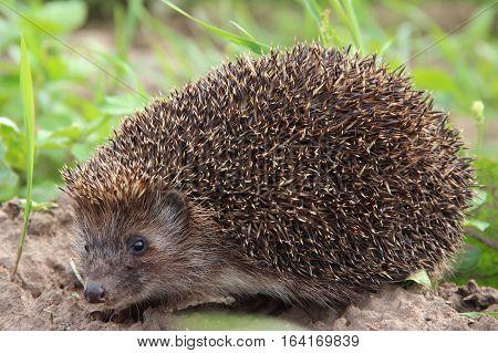 hedgehog animal wild mammal prickle cute nature